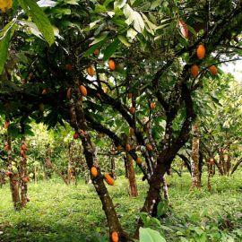 cacao-tree-1