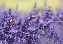 lavender-1537694_1920